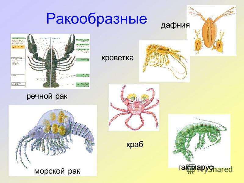 Ракообразные гаммарус речной рак морской рак краб креветка дафния