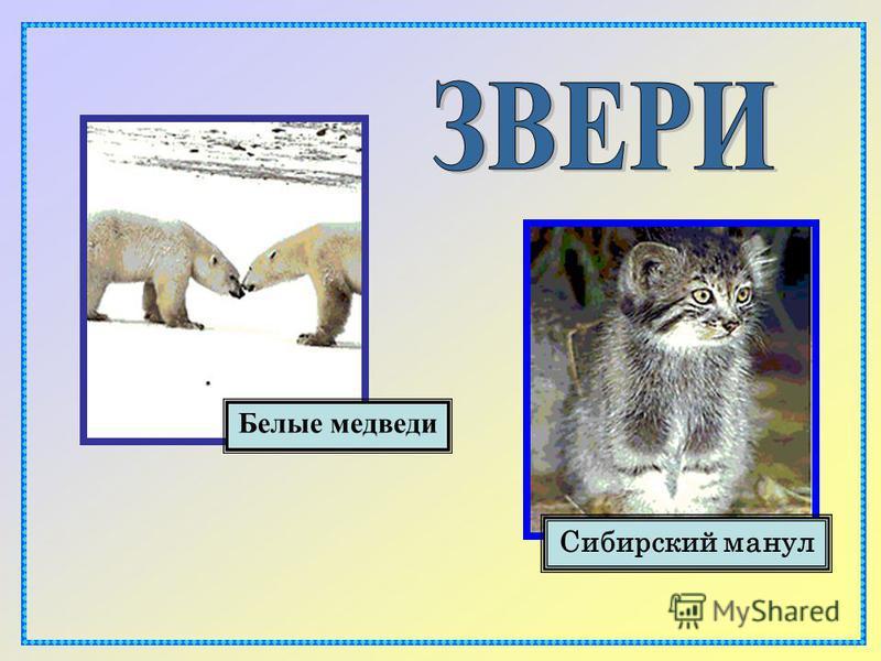 Белые медведи Cибирский манул