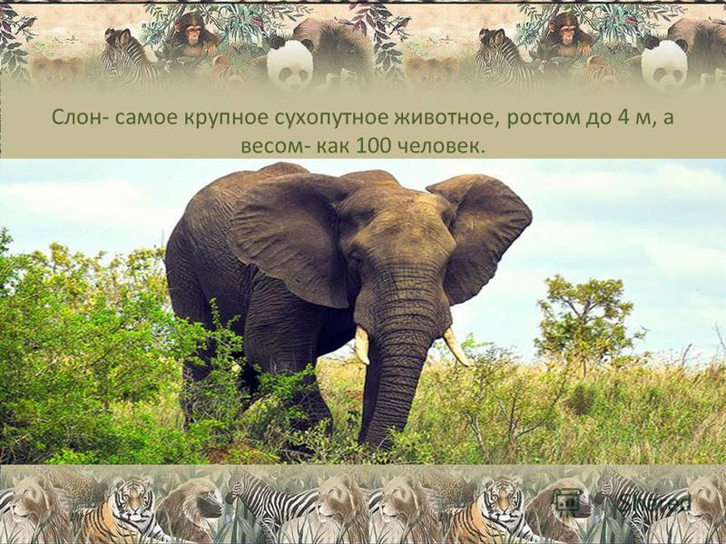 Слон- самое крупное сухопутное животное, ростом до 4 м, а весом- как 100 человек.