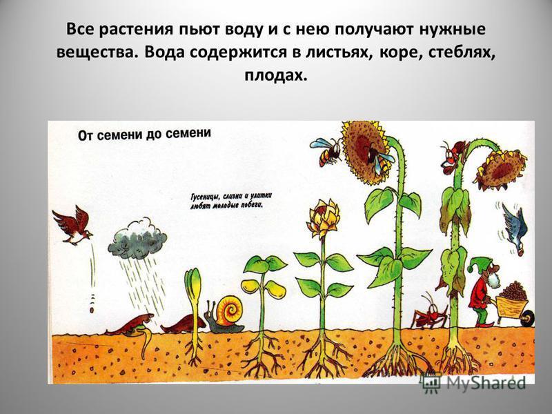 Все растения пьют воду и с нею получают нужные вещества. Вода содержится в листьях, коре, стеблях, плодах.