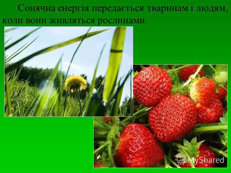 Сонячна енергія передається тваринам і людям, коли вони живляться рослинами.