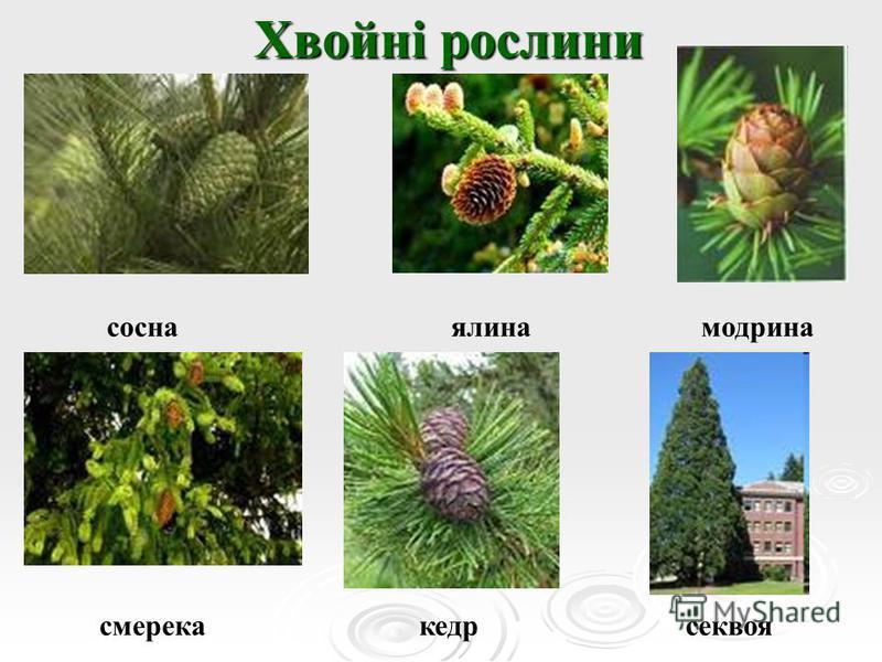 Хвойні рослини сосна ялина модрина смерека кедр секвоя