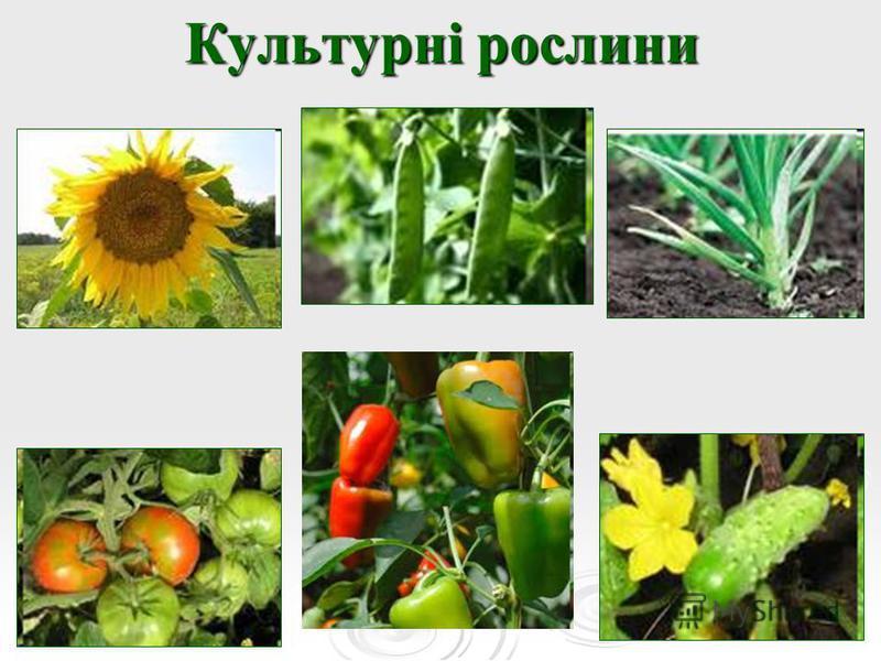 Культурні рослини