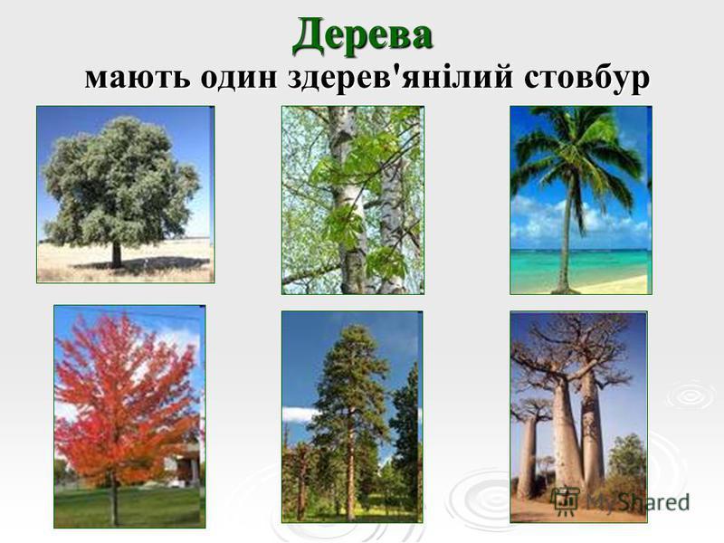 Дерева мають один здерев'янілий стовбур мають один здерев'янілий стовбур