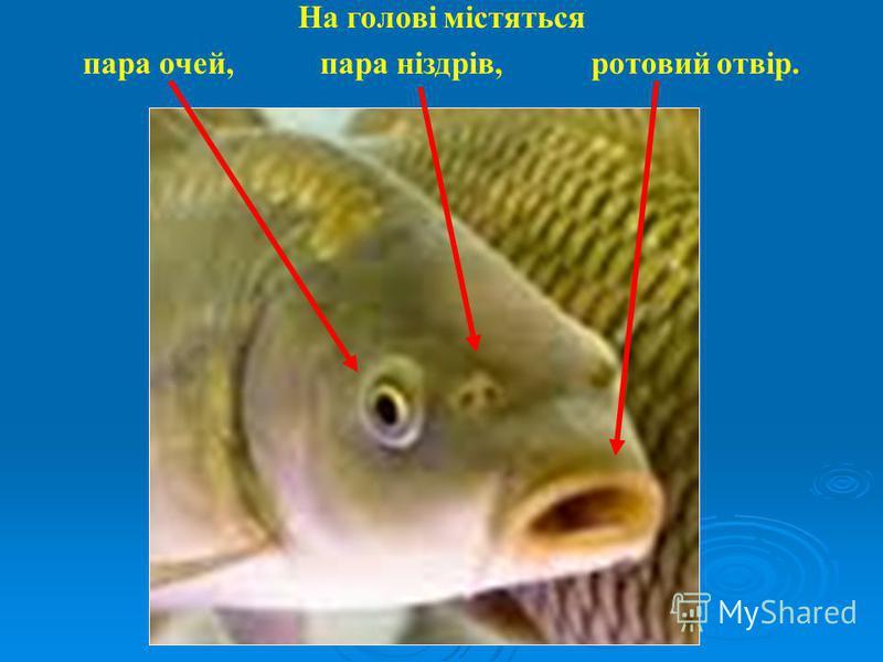 На голові містяться пара очей, пара ніздрів, ротовий отвір.
