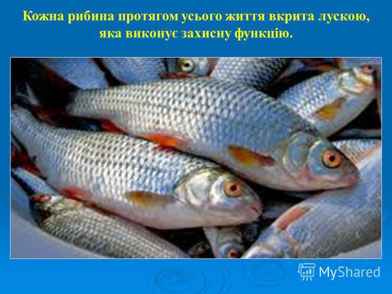Кожна рибина протягом усього життя вкрита лускою, яка виконує захисну функцію.