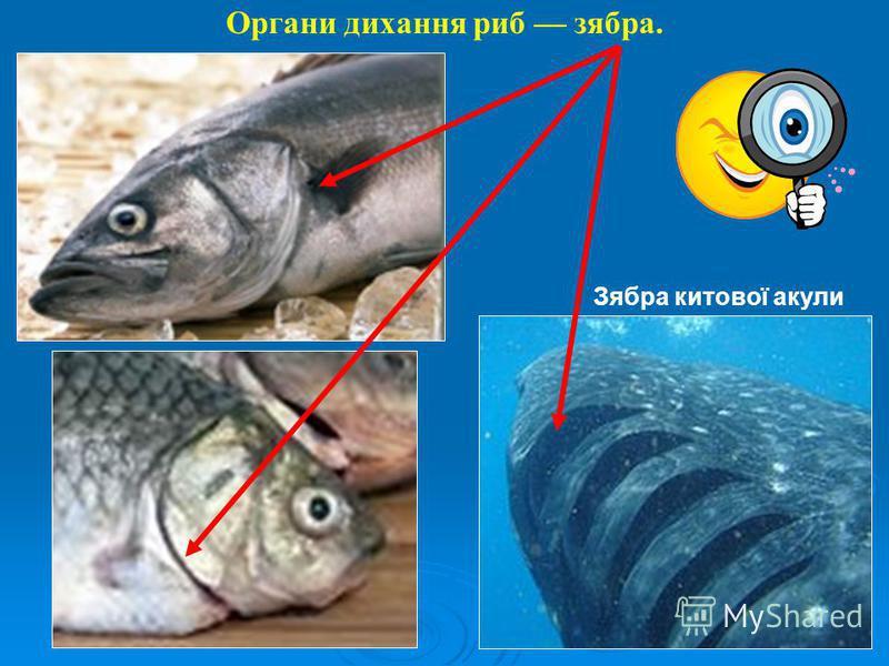 Органи дихання риб зябра. Зябра китової акули