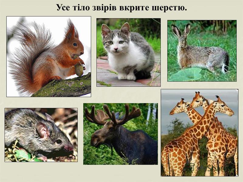 Усе тіло звірів вкрите шерстю.