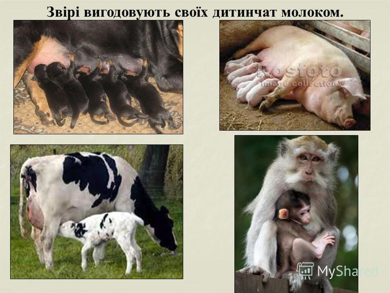 Звірі вигодовують своїх дитинчат молоком.