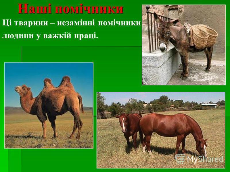 Наші помічники Ці тварини – незамінні помічники людини у важкій праці.
