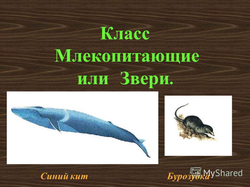 Класс Млекопитающие или Звери. Синий кит Бурозубка