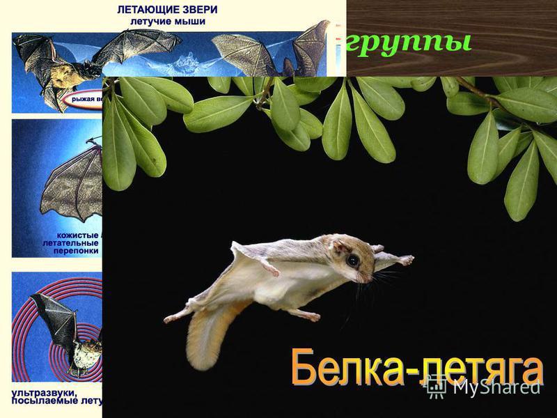 Экологические группы К настоящим летающим зверям относятся только рукокрылые (летучие мыши)