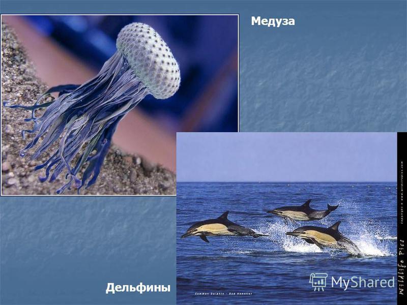 Медуза Дельфины