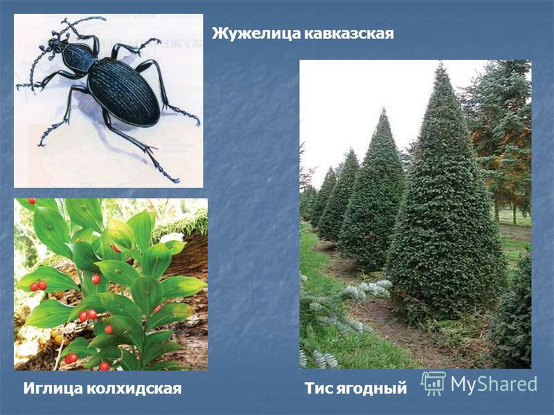 Иглица колхидская Жужелица кавказская Тис ягодный