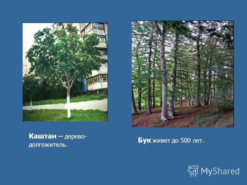 Каштан – дерево- долгожитель. Бук живет до 500 лет.