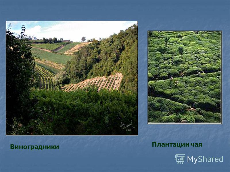 Виноградники Плантации чая