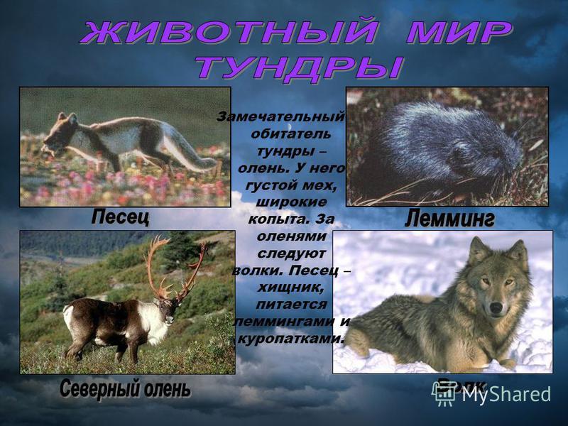 Замечательный обитатель тундры – олень. У него густой мех, широкие копыта. За оленями следуют волки. Песец – хищник, питается леммингами и куропатками.