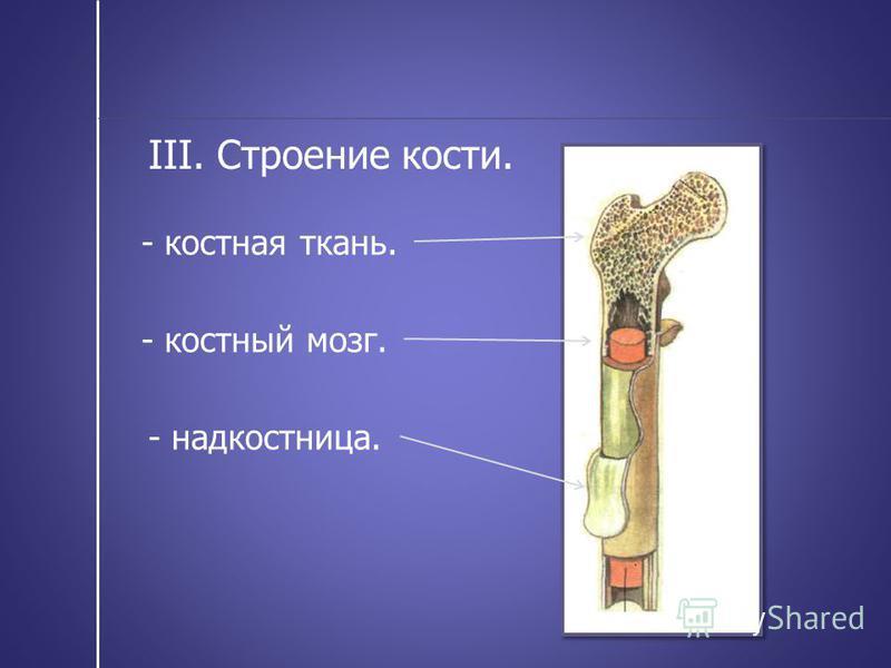 III. Строение кости. - надкостница. - костная ткань. - костный мозг.