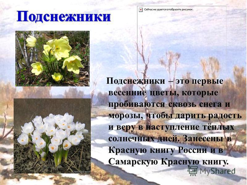Подснежники – это первые весенние цветы, которые пробиваются сквозь снега и морозы, чтобы дарить радость и веру в наступление тёплых солнечных дней. Занесены в Красную книгу России и в Самарскую Красную книгу.