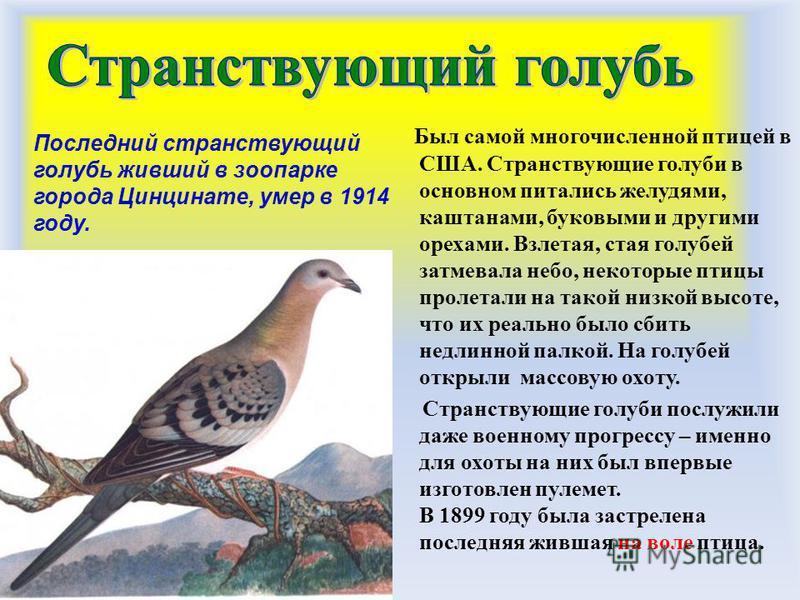 Был самой многочисленной птицей в США. Странствующие голуби в основном питались желудями, каштанами, буковыми и другими орехами. Взлетая, стая голубей затмевала небо, некоторые птицы пролетали на такой низкой высоте, что их реально было сбить недлинн
