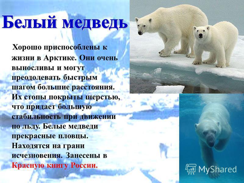 Хорошо приспособлены к жизни в Арктике. Они очень выносливы и могут преодолевать быстрым шагом большие расстояния. Их стопы покрыты шерстью, что придает большую стабильность при движении по льду. Белые медведи прекрасные пловцы. Находятся на грани ис