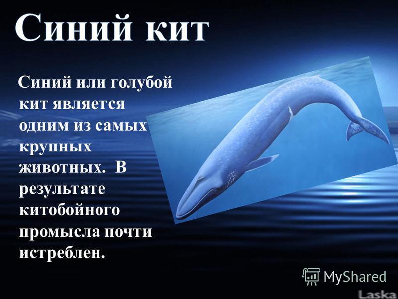Синий или голубой кит является одним из самых крупных животных. В результате китобойного промысла почти истреблен.
