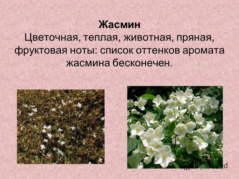 Жасмин Цветочная, теплая, животная, пряная, фруктовая ноты: список оттенков аромата жасмина бесконечен.