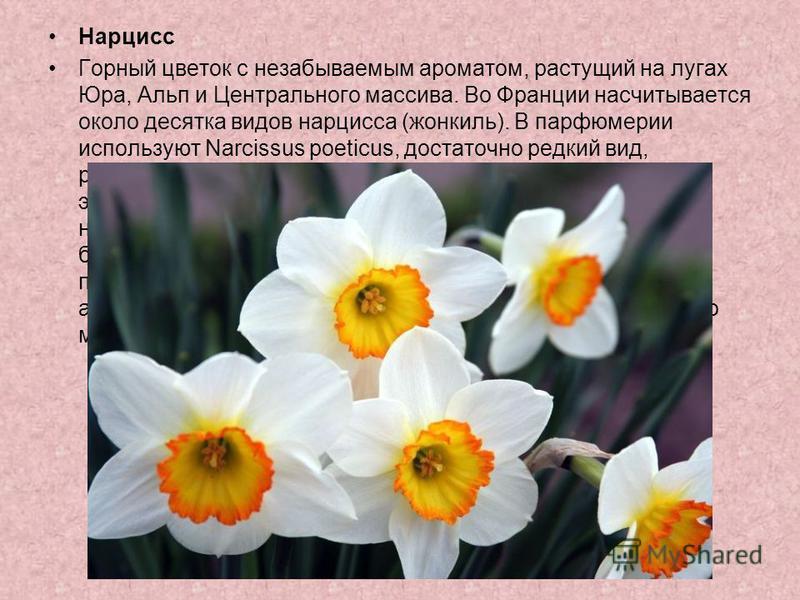 Нарцисс Горный цветок с незабываемым ароматом, растущий на лугах Юра, Альп и Центрального массива. Во Франции насчитывается около десятка видов нарцисса (жонкиль). В парфюмерии используют Narcissus poeticus, достаточно редкий вид, расцветающий в мае.