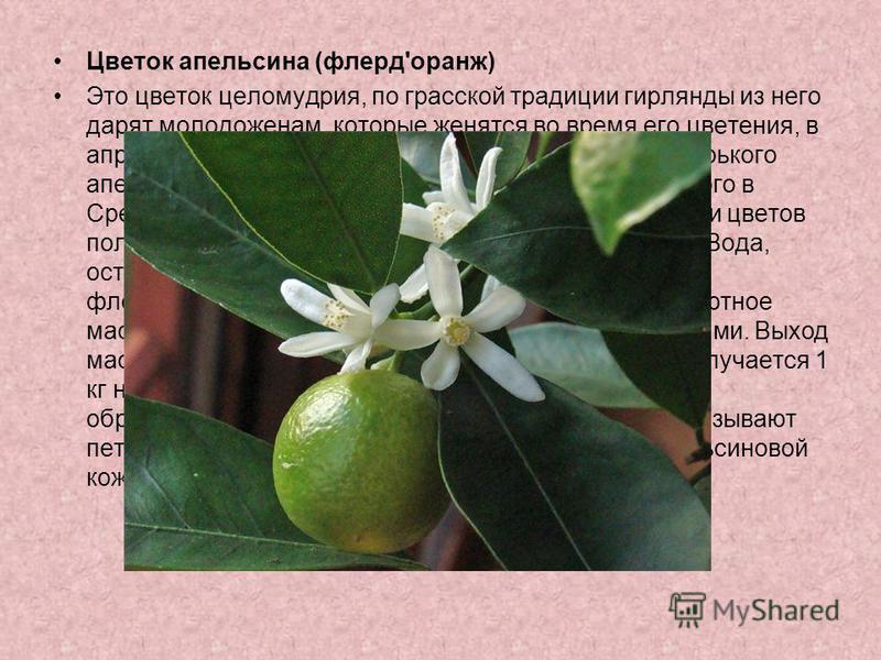 Цветок апельсина (флерд'оранж) Это цветок целомудрия, по грасской традиции гирлянды из него дарят молодоженам, которые женятся во время его цветения, в апреле-мае. Это цветок Citrus aurantium amara, т.е. горького апельсина, дерева родом из Южного Кит