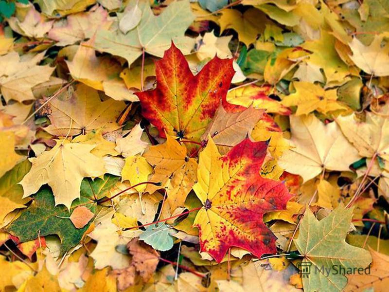 С исчезновением хлорофилла все эти пигменты, которые постоянно присутствовали в листе, которые постоянно присутствовали в листе, становятся видимыми. И мы наслаждаемся разнообразием окраски деревьев.