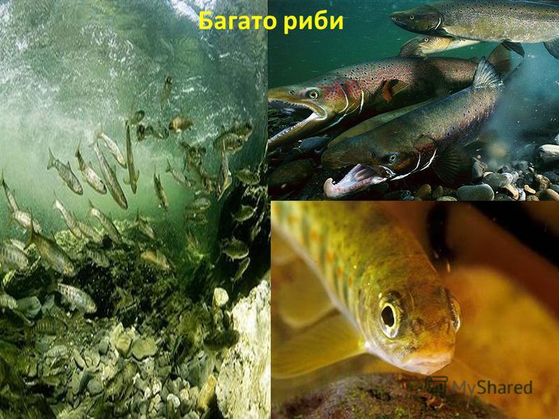 Багато риби