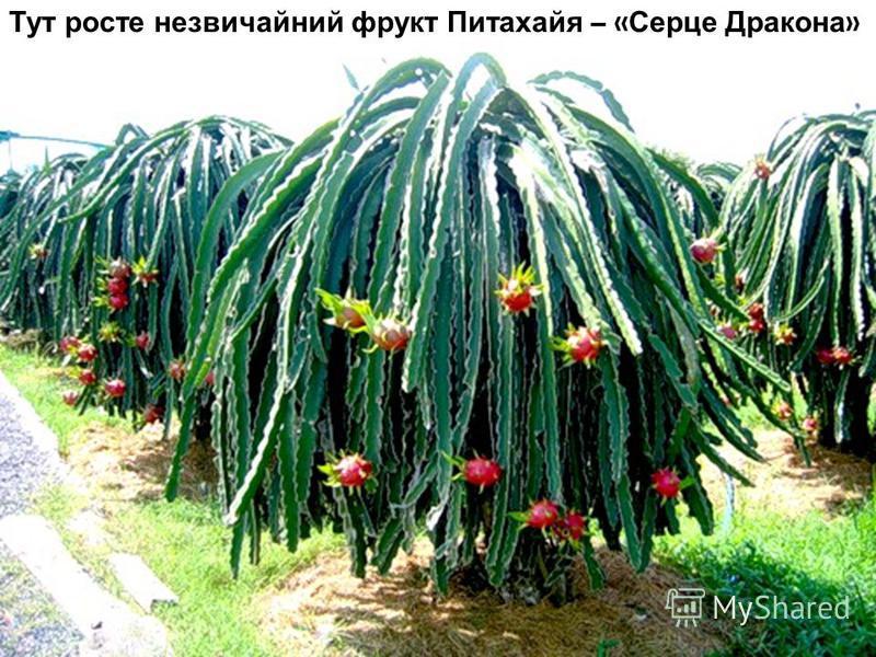 Тут росте незвичайний фрукт Питахайя – « Серце Дракона »