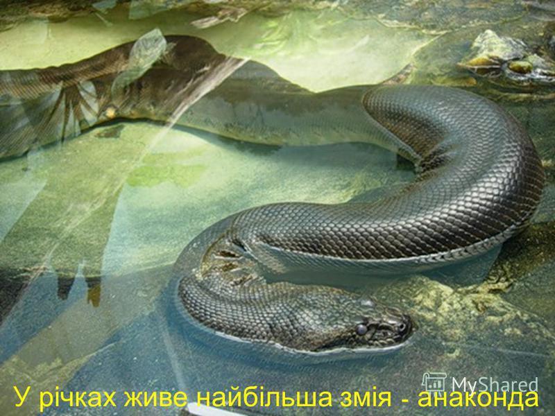 У річках живе найбільша змія - анаконда