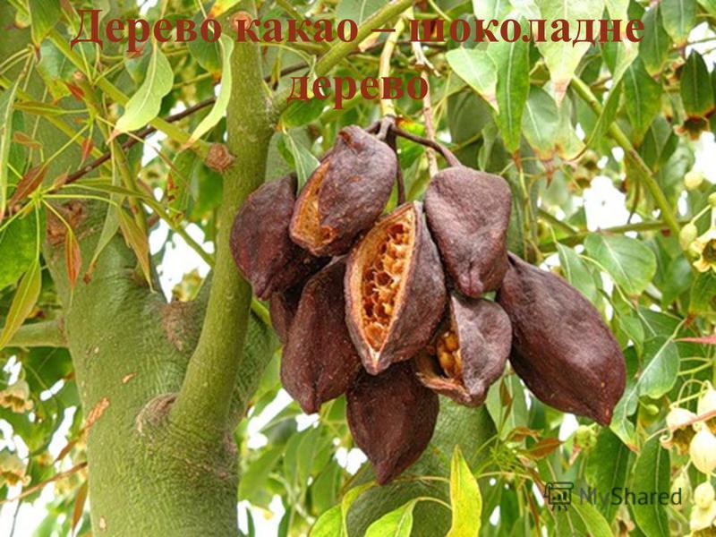 Дерево какао – шоколадне дерево