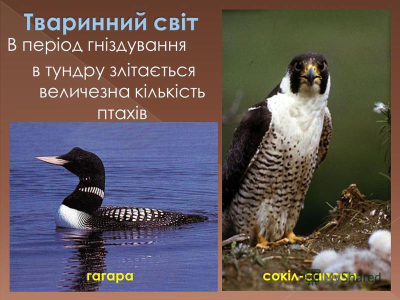 В період гніздування в тундру злітається величезна кількість птахів гагара сокіл-сапсан