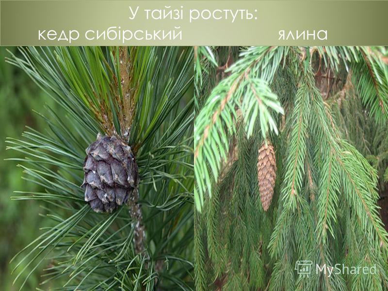 У тайзі ростуть: кедр сибірський ялина