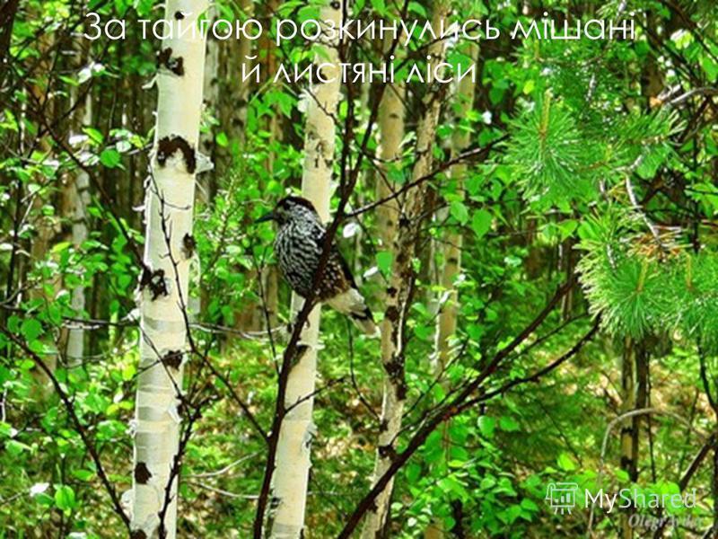 За тайгою розкинулись мішані й листяні ліси