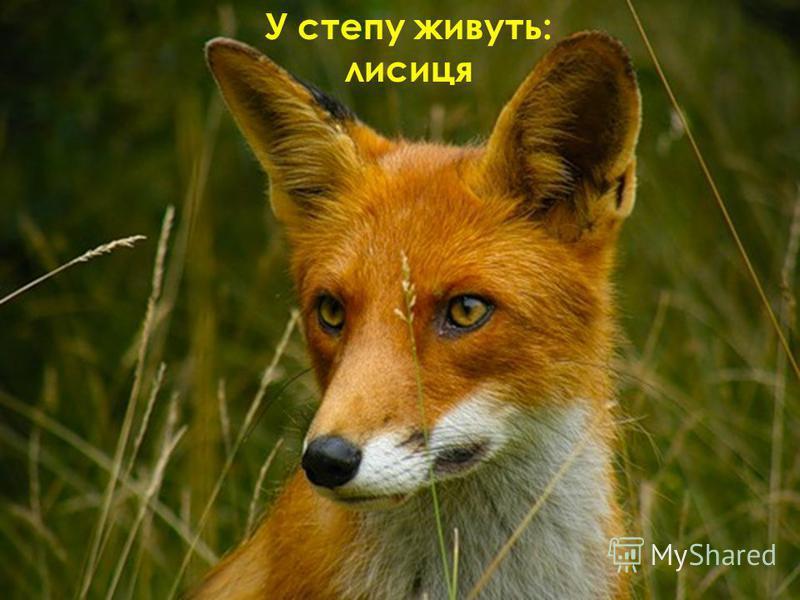 У степу живуть: лисиця