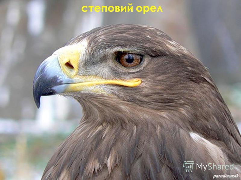 степовий орел