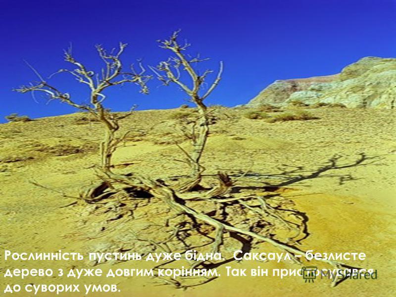 Рослинність пустинь дуже бідна. Саксаул – безлисте дерево з дуже довгим корінням. Так він пристосувався до суворих умов.