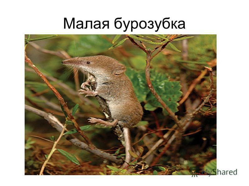 Малая бурозубка