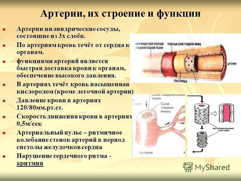 Артерии, их строение и функции Артерии цилиндрические сосуды, состоящие из 3 х слоёв. Артерии цилиндрические сосуды, состоящие из 3 х слоёв. По артериям кровь течёт от сердца к органам. По артериям кровь течёт от сердца к органам. функциями артерий я