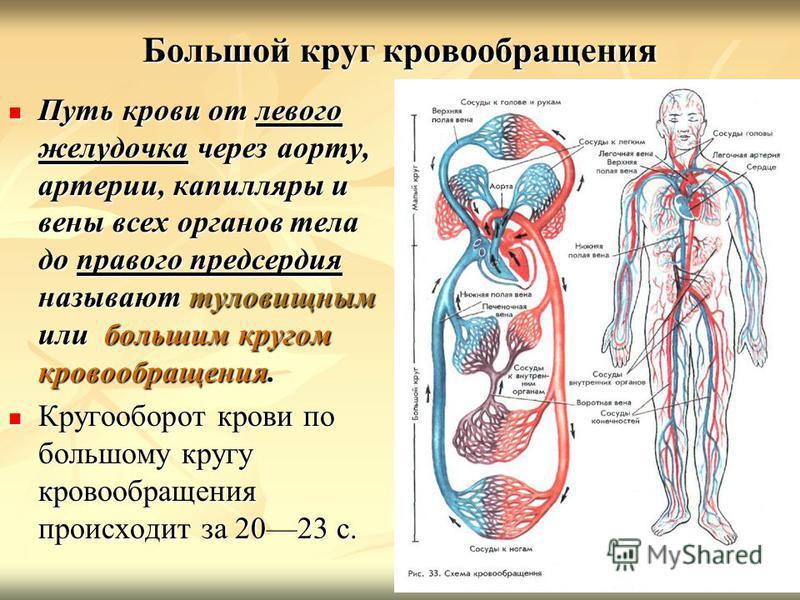 Большой круг кровообращения Путь крови от левого желудочка через аорту, артерии, капилляры и вены всех органов тела до правого предсердия называют туловищным или большим кругом кровообращения. Путь крови от левого желудочка через аорту, артерии, капи