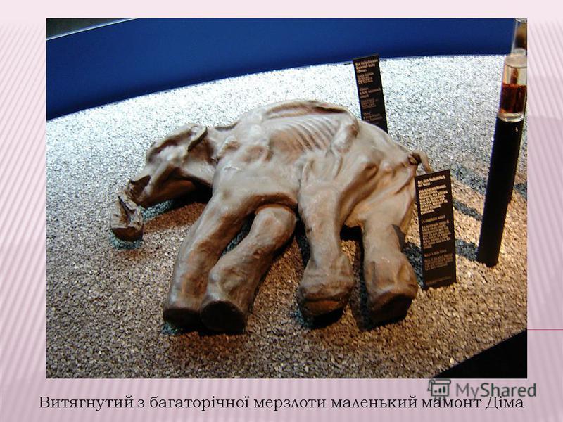 Витягнутий з багаторічної мерзлоти маленький мамонт Діма