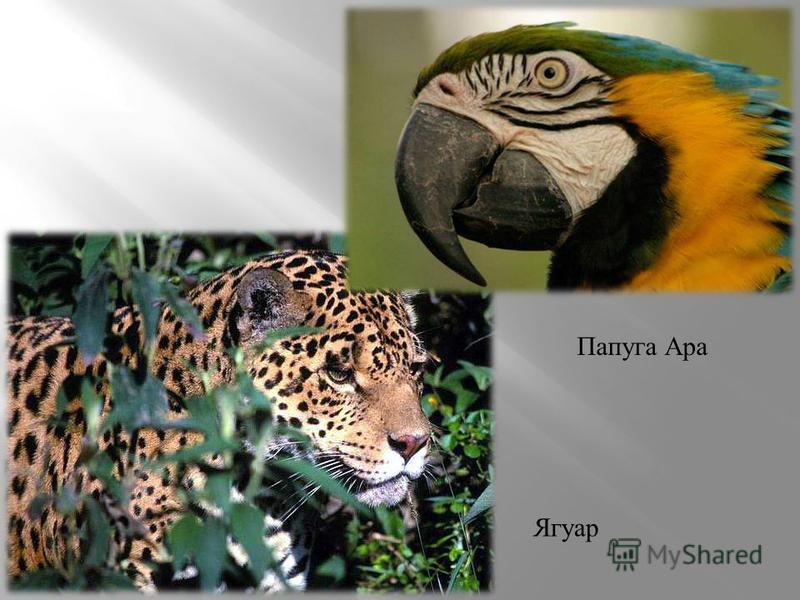 Ягуар Папуга Ара
