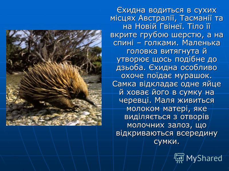 Вомбат – незграбний звір, який нагадує бабака або маленького ведмедя, живе в тропічних лісах південної Австралії. Вобат – нічна тварина. Він риє в землі глибокі нори, де й оселюється.