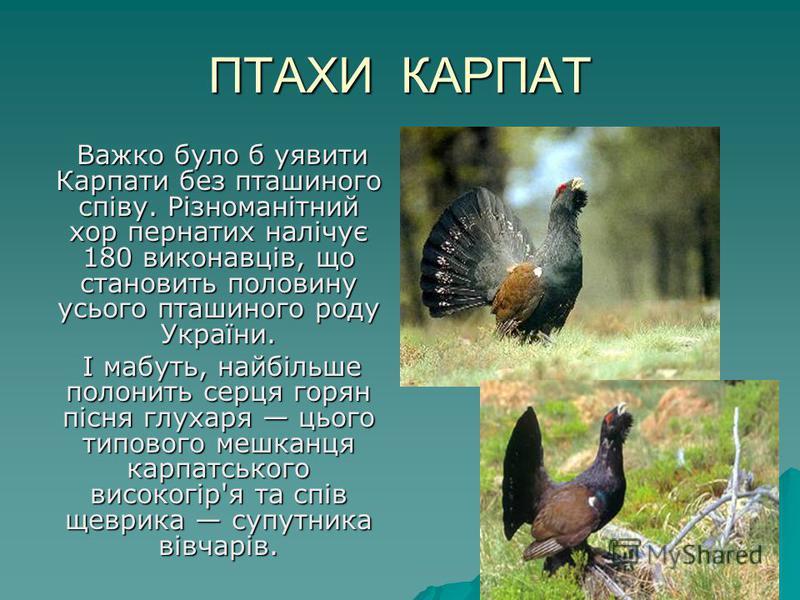 ПТАХИ КАРПАТ Важко було б уявити Карпати без пташиного співу. Різноманітний хор пернатих налічує 180 виконавців, що становить половину усього пташиного роду України. Важко було б уявити Карпати без пташиного співу. Різноманітний хор пернатих налічує