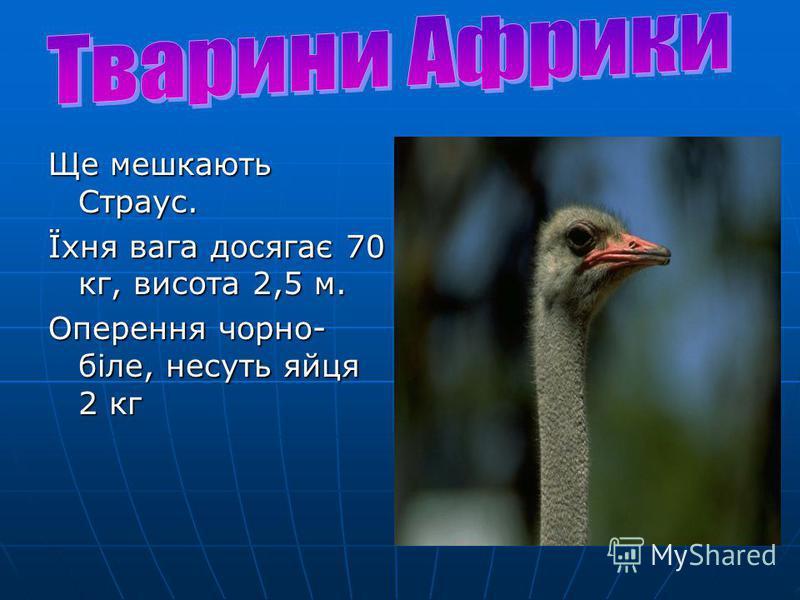 Ще мешкають Страус. Їхня вага досягає 70 кг, висота 2,5 м. Оперення чорно- біле, несуть яйця 2 кг
