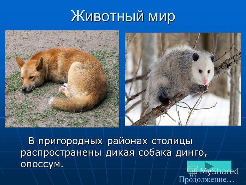Животный мир В пригородных районах столицы распространены дикая собака динго, опоссум. В пригородных районах столицы распространены дикая собака динго, опоссум. Продолжение…