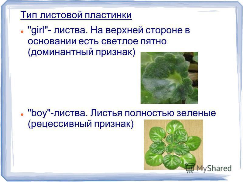 Тип листовой пластинки girl- листва. На верхней стороне в основании есть светлое пятно (доминантный признак) boy-листва. Листья полностью зеленые (рецессивный признак)